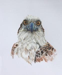 Portrait of a Juvenile Osprey